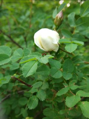 Evgenia Yanushkina. Rose flower