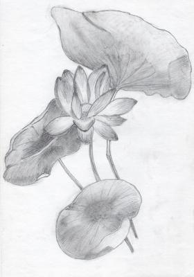 Polina. Lotus