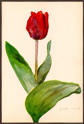 Арлетт Дэвидс. Тюльпан
