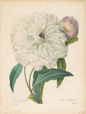 "Pierre-Joseph Redoute. White Peony ""Selection of the most beautiful flowers"""