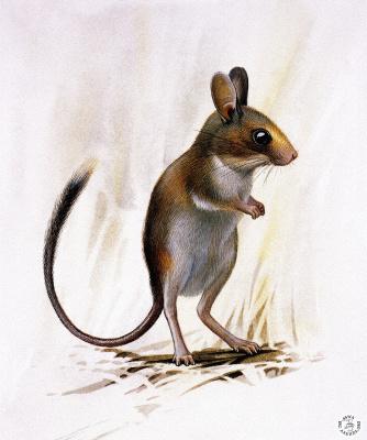 Питер Схоутена. Мышь