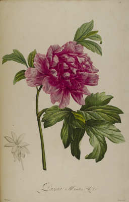 "Pierre-Joseph Redoute. Purple peony. ""Rare plants of Malmaison and Navarre"""