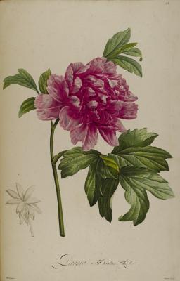 "Pierre-Joseph Redoute. Purple peony. ""Rare plants of Malmaison and Navarre"""