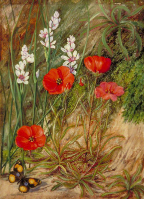 "Marianna North. ""Sundew and its environment"". South African Flowers and Butterfly"