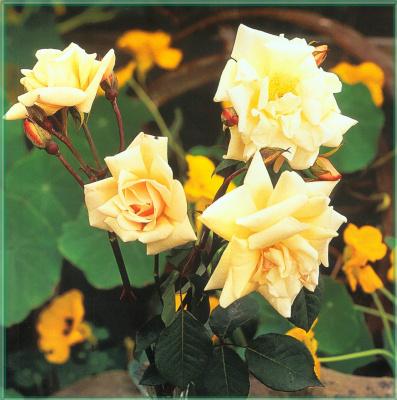Сахон Холт. Желтые розы