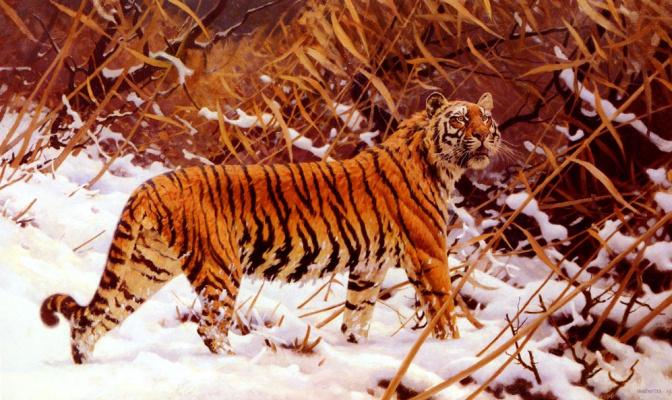 Уго Унгевиттер. Амурский тигр в снежном пейзаже