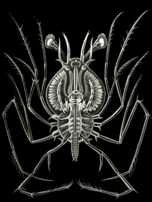 "Ernst Heinrich Haeckel. Lobster Phyllozoma. ""The beauty of form in nature"""