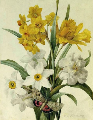 Pierre-Joseph Redoute. Bouquet: two types of daffodils and red-winged moth