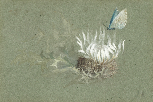 John Ruskin. Study of an alpine thistle with an Amanda's Blue butterfly