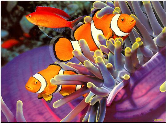 Рыба-клоун и анемоны