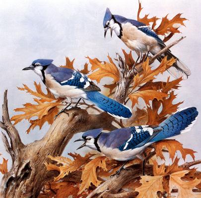 Роджер Тори Петерсон. Голубая сойка с осенними дубовыми листьями