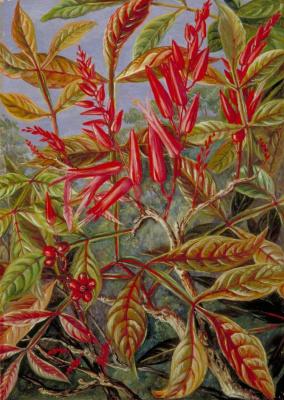 Марианна Норт. Квассия горькая с цветами и ягодами. Саравак, Борнео