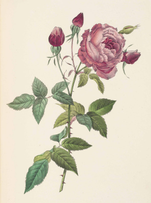 Pierre-Joseph Redoute. Rose with buds