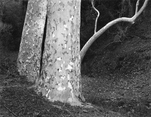 Джон Секстон. Ствол дерева