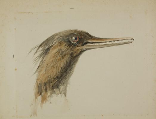 John Ruskin. Merganser duck