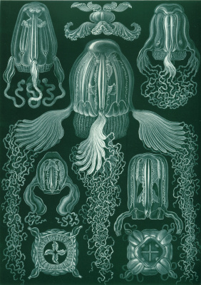 "Ernst Heinrich Haeckel. Cubomedusa. ""The beauty of form in nature"""