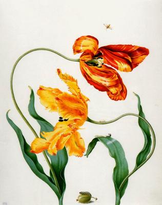 Мария Сибилла Мериан. Цветы2