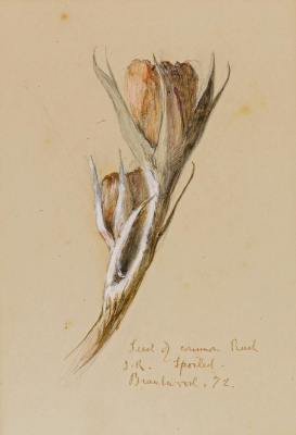 John Ruskin. Buds rushisty sprouting