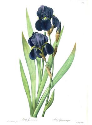 """Pierre-Joseph Redoute. German Iris. """"Lily"""""""