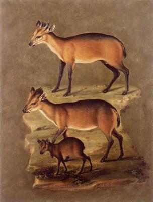Giuseppe Arcimboldo. Hoofed mammals. Reeboki Duker