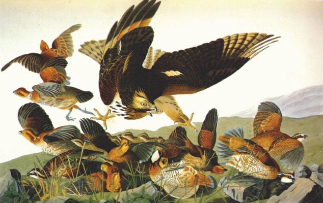 John James Audubon. Partridge