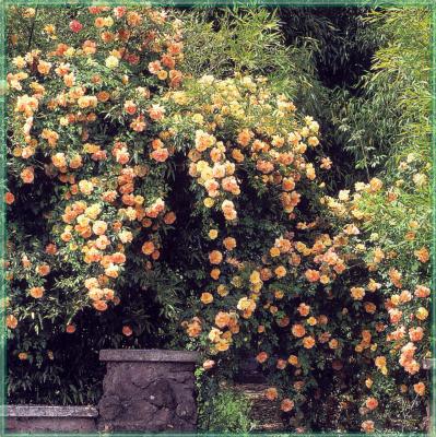 Сахон Холт. Розы цветут в саду