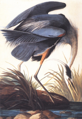 John James Audubon. Great blue Heron