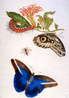 Maria Sibylla Merian. Butterfly