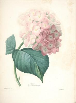 "Pierre-Joseph Redoute. Hydrangea. ""Selection of the most beautiful flowers"""