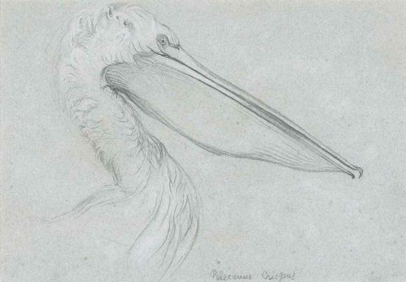 John Ruskin. Dalmatian Pelican