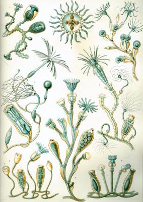 """Ernst Heinrich Haeckel. Campanarium. """"The beauty of form in nature"""""""