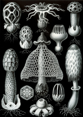 "Ernst Heinrich Haeckel. Basidiomycetes (Basidiomycetes). ""The beauty of form in nature"""
