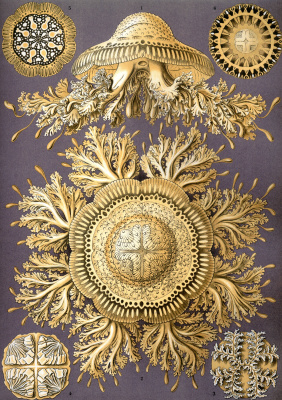 """Ernst Heinrich Haeckel. Discomedusas. """"The beauty of form in nature"""""""
