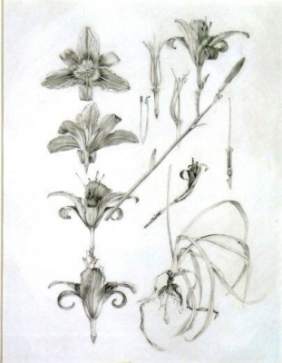 Alfons Mucha. Decorative materials: outline lilies