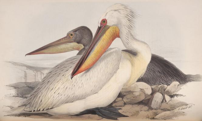 "Эдвард Лир. Pelican. Series ""Birds of Europe"""