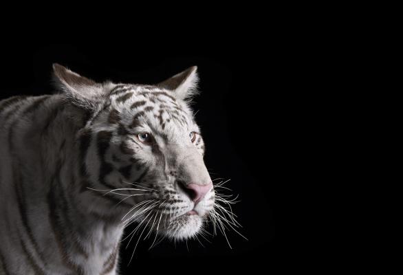 Brad Wilson. White Tiger#1