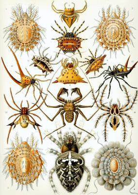 Эрнст Генрих Геккель. Паукообразные (Арахниды). «Красота форм в природе»