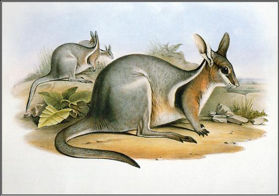 Джон Гулд. Короткокоготный кенгуру