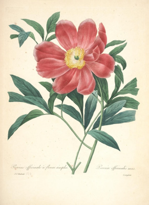 """Pierre-Joseph Redoute. Peony medicinal. """"Selection of the most beautiful flowers"""""""