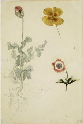 Эжен Делакруа. Цветы: мак, анемон и калифорнийский мак (Эскиз)
