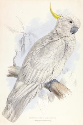 Эдвард Лир. Great Gray Crested Cockatoo