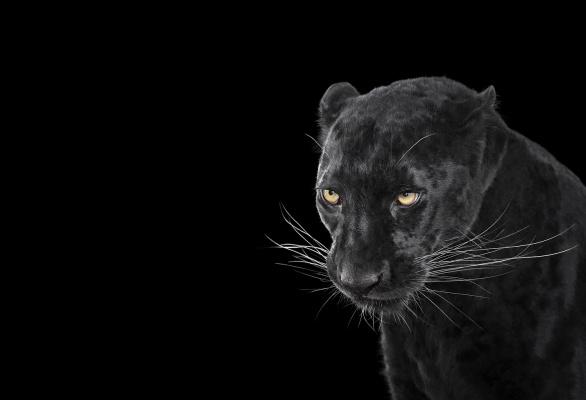 Brad Wilson. Black Leopard#3