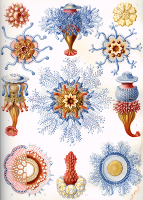 """Ernst Heinrich Haeckel. Siphonophores. """"The beauty of form in nature"""""""