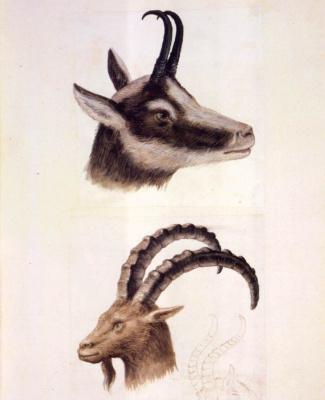 Giuseppe Arcimboldo. Sketches of the head of a mountain goat