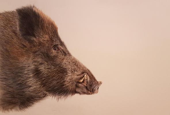 Irina Kryuchkov. A wild boar