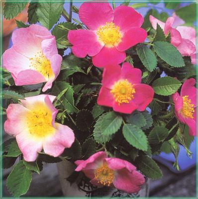 Сахон Холт. Цветы в саду