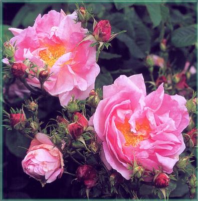 Сахон Холт. Нежность роз