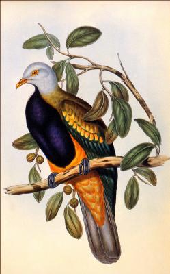 Джон Гоулд. Птица на ветке