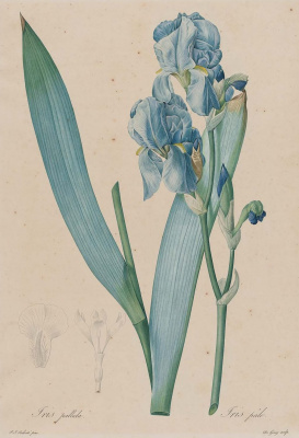 "Pierre-Joseph Redoute. Iris is pale. ""Lily"""