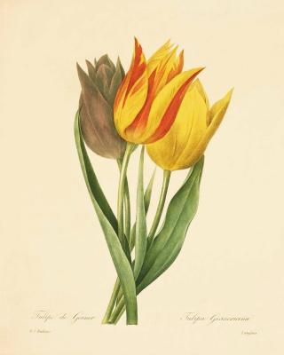 """Пьер-Жозеф Редуте. Тюльпан Гесснера или тюльпан-попугай. """"Выбор самых красивых цветов"""""""